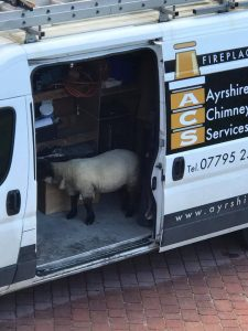 Sheep in acs van